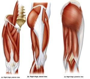 human-anatomy-upper-leg-muscles-image-OIdR