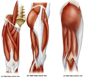 human-anatomy-upper-leg-muscles-image-OIdR